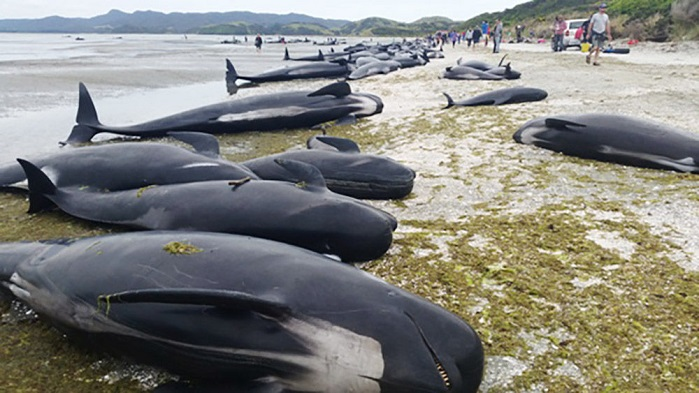 tlg-christian-news-american-media-mourn-deaths-of-hundreds-of-whales-ignore-deaths-of-thousands-of-aborted-babies-pilotwhales