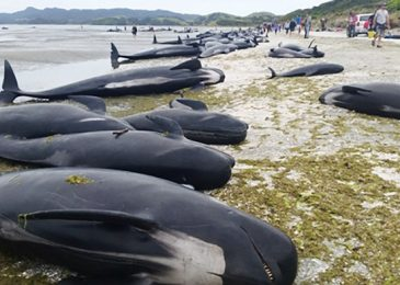 Media Mourn Deaths of Hundreds of Whales, Ignore Deaths of Thousands of Aborted Babies